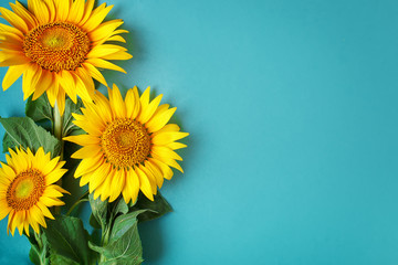 Wall Mural - Beautiful sunflowers on blue background. View from above. Background with copy space.