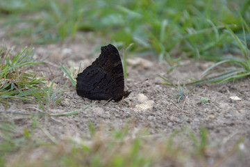 Aglais io, butterfly. Inachis io sitting on the ground with closed wings