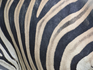 close up of zebra skin