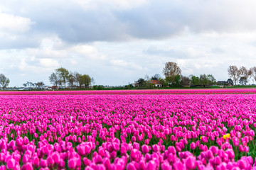 Photo sur Plexiglas Rose Tulips field landscape