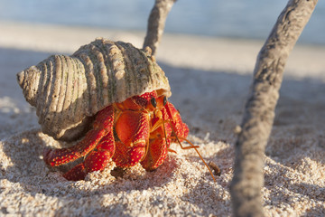 Hermit crab, so called coconut crab, carrying her new house at the beach of Makemo atoll, Tuamotus archipelago, French Polynesia,France