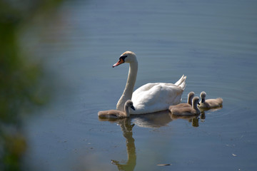 Swan family. Mother swan and baby chicks children kids swans. Birds floating on water.