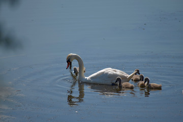 Swan family. Mother swan and baby chicks children kids swans. Birds floating on water. Swan pulls food out of the water.