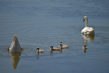 Swan family. Mother swan and baby chicks children kids swans. Birds floating on water. Swan sinks under water.