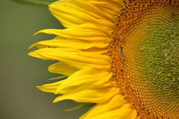 Young blossoming sunflower plant close up. Shallow depth of field.