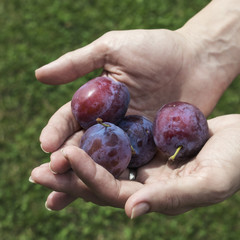 Farmers hands with freshly harvested plums