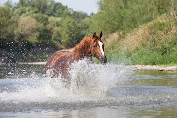 Nice arabian horse running on water