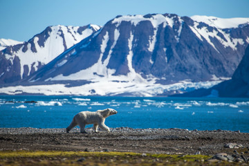 Deurstickers Ijsbeer Polar bear in south Spitsbergen.