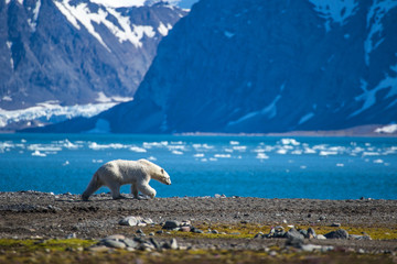 Fotobehang Ijsbeer Polar bear in south Spitsbergen.