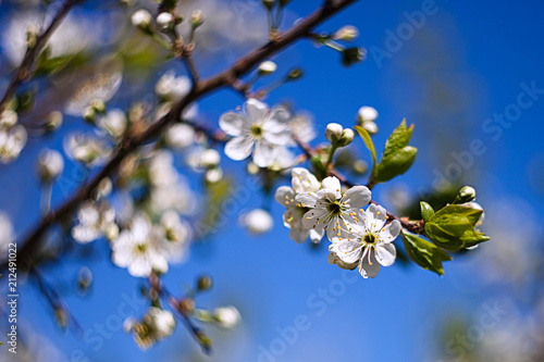 Spring Flowering Trees Apple Trees In Bloom White Flowers Against