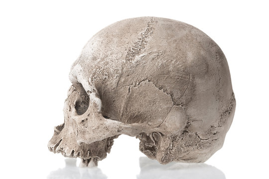 Human skull isolated on white background with reflection. Side view