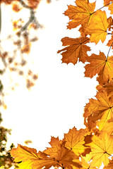 Yellow maple leaves closeup, autumn background