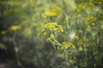 A beautiful natural dill from the garden