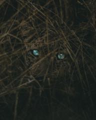 Dark leopard.
