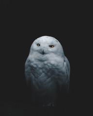 Curious snow owl.