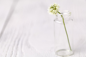 Composition with clover in glass. melancholic still life with white clover. soft focus