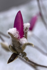 Colorful, Downy, Snow Covered Flower Bud Close Up