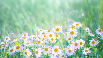 Nature Summer Background with Daisy flowers