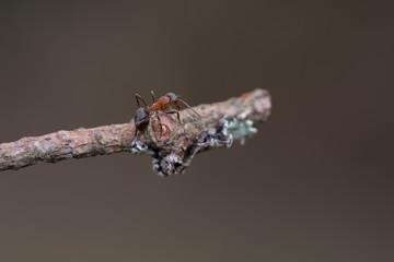 Ant walk on tree , macro