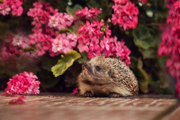 wild hedgehog in summer nature background Wall mural