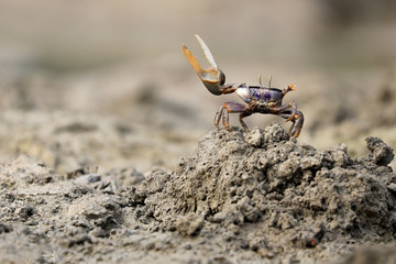 Uca tangeri crab