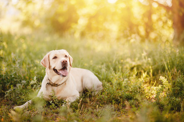 Active, smile and happy purebred labrador retriever dog outdoors in grass park on sunny summer day. Wall mural