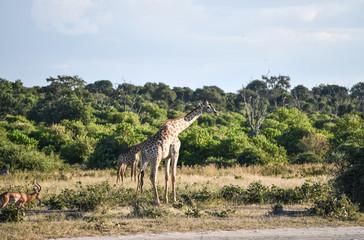 Giraffe, Botswana, Chobe Park