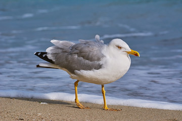 Seagull Walking by the Beach