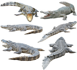 Fotobehang Krokodil siamese crocodile isolated on white background