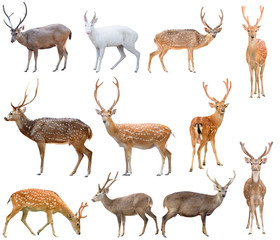 Poster Hert deer isolated on white background