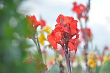 Canna lily red flower