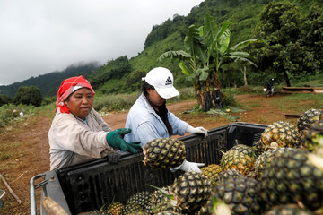 Farmers load pineapples near Tham Luang cave complex in the northern province of Chiang Rai