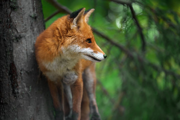 Wall Mural - Portrait of a red fox (Vulpes vulpes)