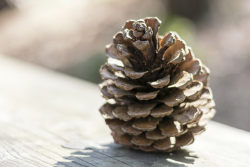 Beautiful close up of a woody pinecone on a wooden surface in soft summer backlight. The details, scales and structures of the pine cone are very well visible. Beautiful ornamental decoration .