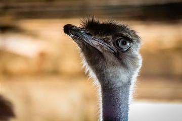 Poster Autruche Ostrich