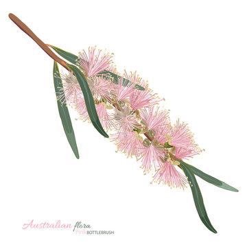 Pastel Pink Flowering Bottlebrush Flower
