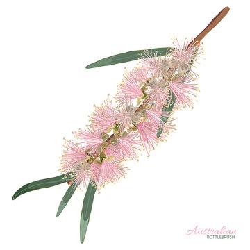 Pink Flowering Bottlebrush Flower