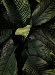 Background texture of dark green tropical leaves