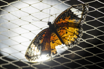 Butterfly flies at the net.