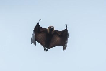 Bat flying (Lyle's flying fox)