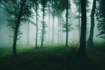 green natural woods with trees in fog, nature landscape