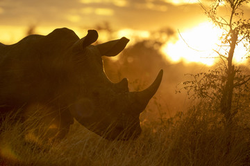Portrait of wild free roaming african white rhino