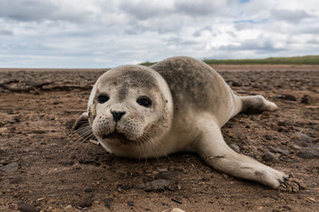 Common Seal Pup, Tyne Sands - East Lothian