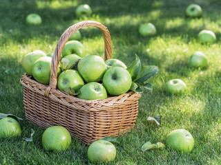 Apple harvest. Ripe green apples in the basket on the green grass.
