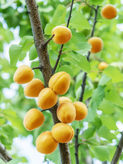 Apricots on a apricot branch.