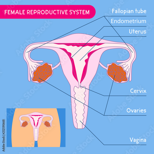 Female reproductive system. Human anatomy. Uterus medical poster ...