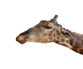 close up head of african giraffe isolated white background