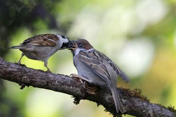 Feldsperling oder Feldspatz (Passer montanus)  Alttier füttert Jungvogel auf Ast