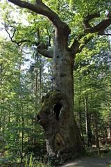 Der Eulenbaum im Kaufunger Wald