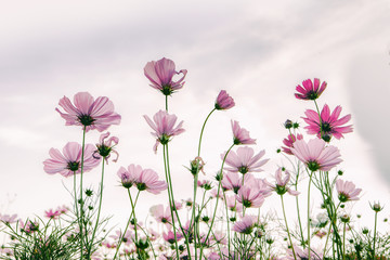 Wall Mural - Cosmos flower in vintage tone style for background